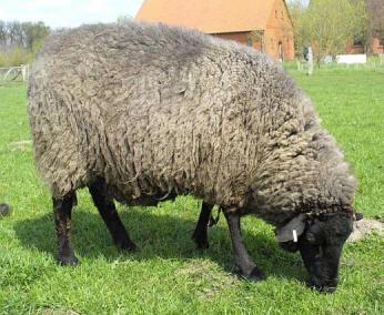 Ark Wolle Farmen